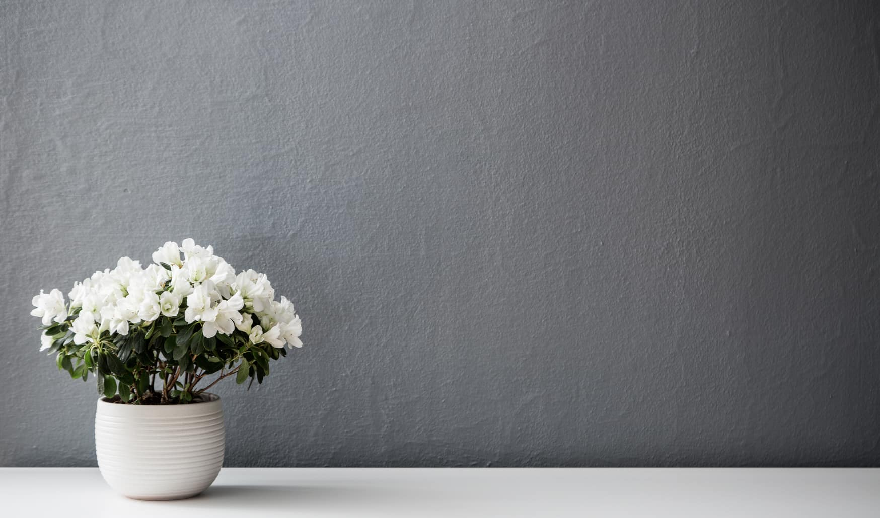 flower in pot in front of grey wall